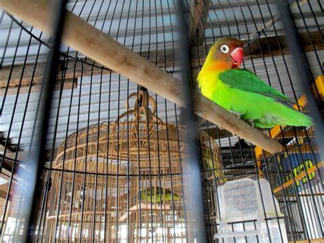 Krodong Lovebird Bukan Murai menyedihkan ribuan burung dijual di pasar bebas kalimantan barat mongabay co id