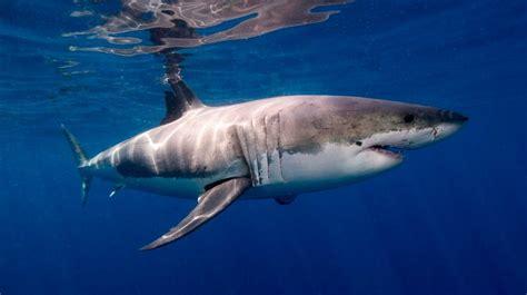 libro the shark in the los peces m 225 s grandes del mundo