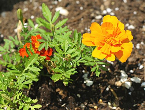 plants that repel insects in vegetable gardens plants that repel insects and garden pests