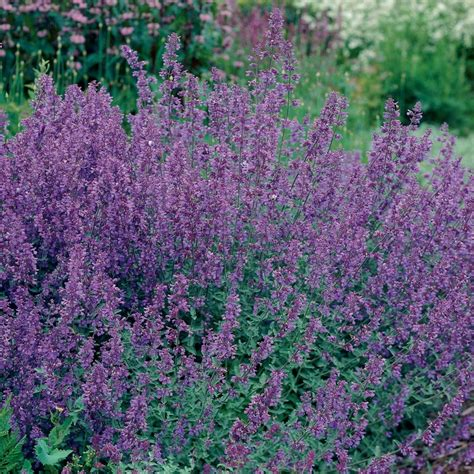 growing catmint nepeta pick the best and enjoy the show the high country gardens blog