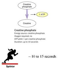 creatine quizlet chapter 9 phys muscles energy and fatigue flashcards