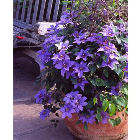 customer reviews  patio clematis flowering gift parisienne
