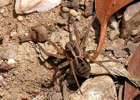 Garden Spider Brown Garden Wolf Spider Lycosa Godeffroyi