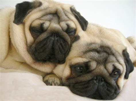 should i get a pug pugpugpug how do i get my two pugs to stop chasing each other