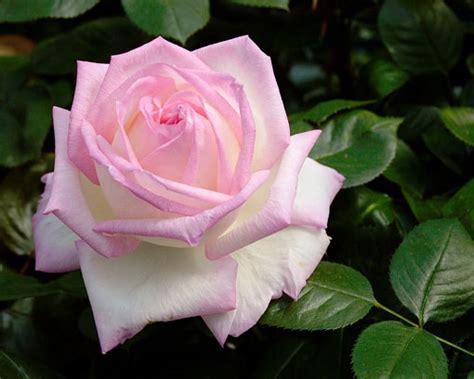 il fiore di maggio la rosa il fiore di maggio giardinaggio piante e fiori