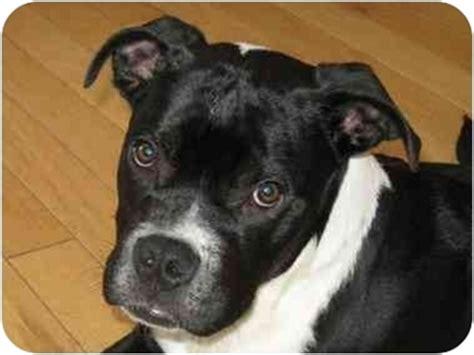 boston terrier rottweiler mix tanker adopted puppy 003 brighton co boxer boston