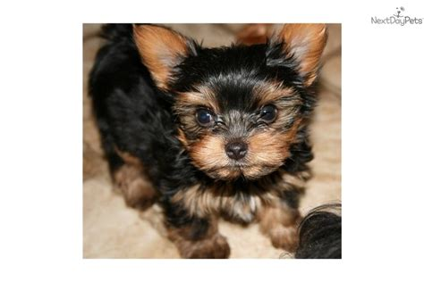 yorkie colorado yorkie terrier puppies colorado breeds picture