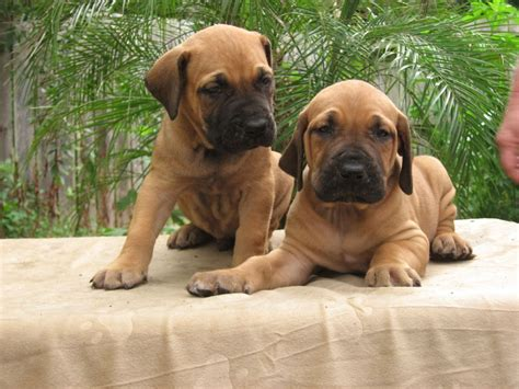 fila brasileiro puppies two fila brasileiro puppies photo and wallpaper beautiful two fila brasileiro puppies