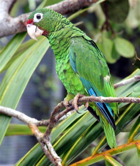 amazon wikipedia indonesia puerto rican amazon wikipedia