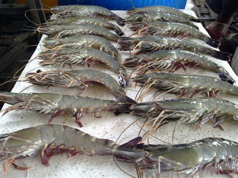 Pakan Udang Dan Bandeng dwi devi lancar panen ikan dan udang