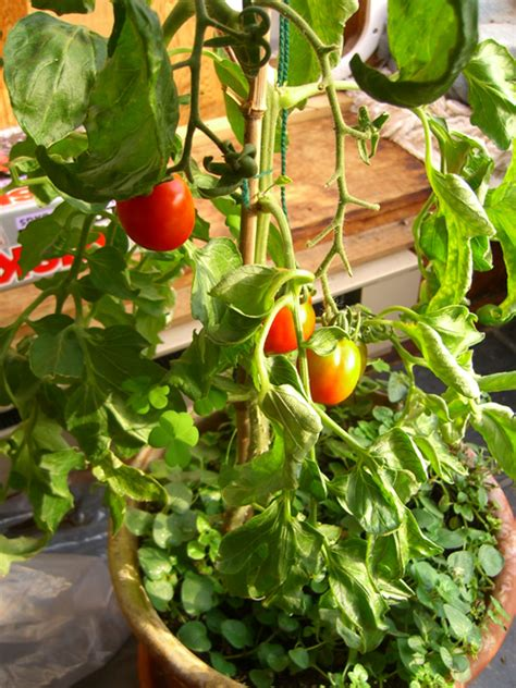 indoor tomato garden container to growing indoor tomato garden 447