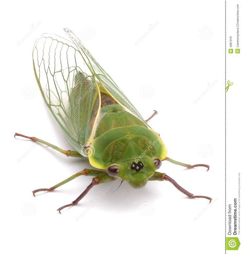 bug xl reguler 1gb green cicada insect isolated royalty free stock images