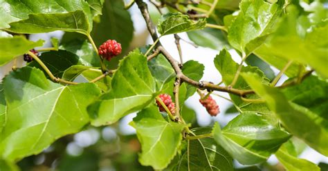 are trees toxic to cats mulberry tree aspca