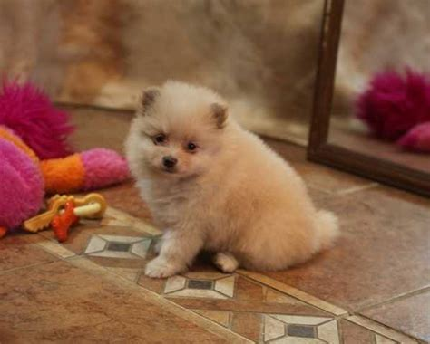 pomeranian adoption nyc and lovely pomeranian puppies foe adoption for sale adoption from new york new
