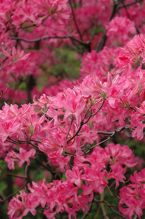 northern lights azalea rhododendron northern lights