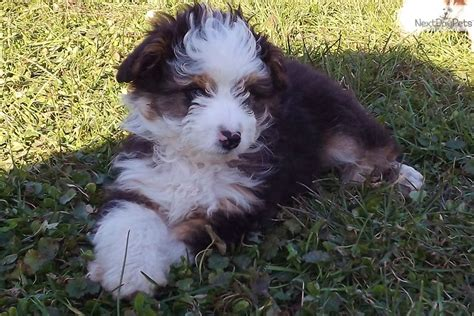 mini aussiedoodle puppies for sale aussiedoodle puppy for sale near altoona johnstown