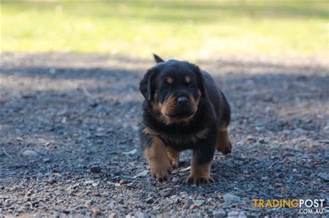 rottweiler puppies tails rottweiler puppies bob for sale in londonderry nsw rottweiler puppies bob