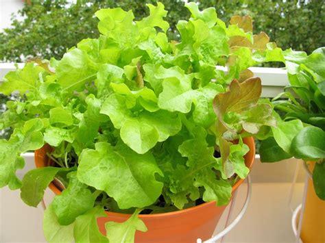 coltivare insalata in vaso coltivare sul terrazzo orto in balcone orto sul