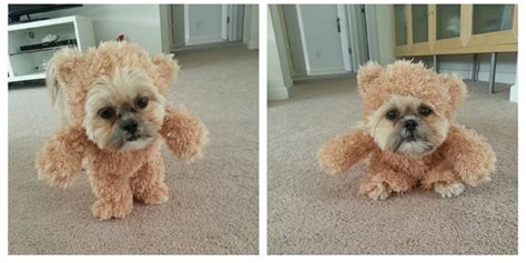 shih tzu teddy costume this shih tzu dressed as a teddy is the best 11 second you ll see today