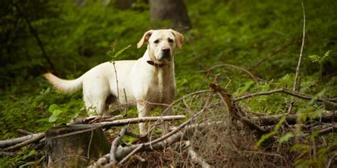 lyme disease symptoms in dogs lyme disease in dogs symptoms and treatment