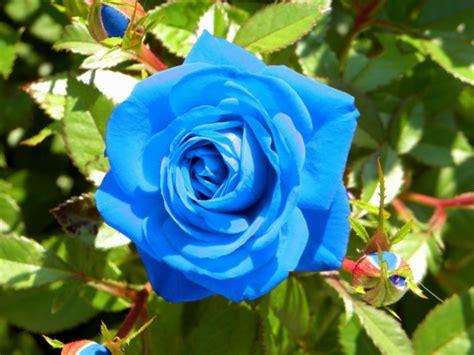imagenes de rosas blancas y azules im 225 genes de rosas rojas blancas azules negras ramos y