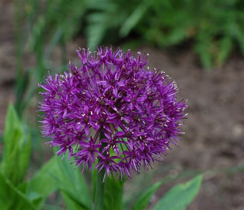 file flowering onion allium aflatunense purple sensation flower 2319px jpg wikimedia commons