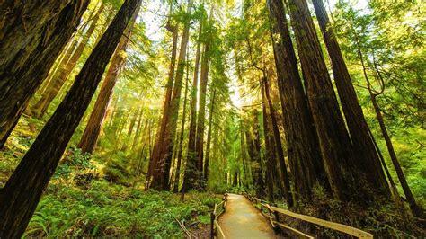 Redwood Lighting by Redwood Trees Wallpaper Wallpapersafari