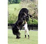 Friesian Horses Vs Arabian Picarena Image Match