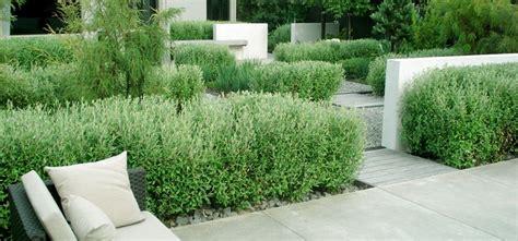 gartengestaltung ideen modern 3773 corokia hedging in this coastal new zealand garden