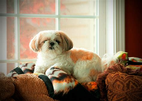 shih tzu guard shih tzu guard terrier portrait quot hailey q flickr photo