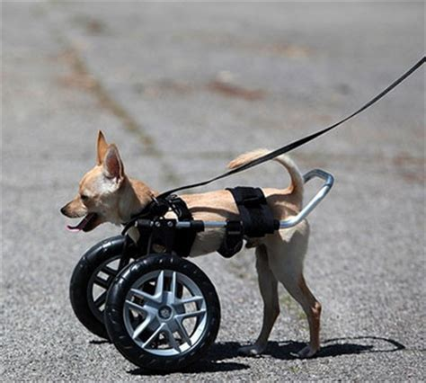 wheelchairs for dogs was separated from and was left to die getting bitten by ants and
