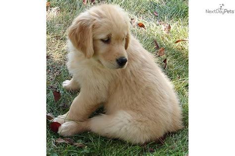 purebred golden retriever puppy meet kody a golden retriever puppy for sale for 800 akc all american purebred