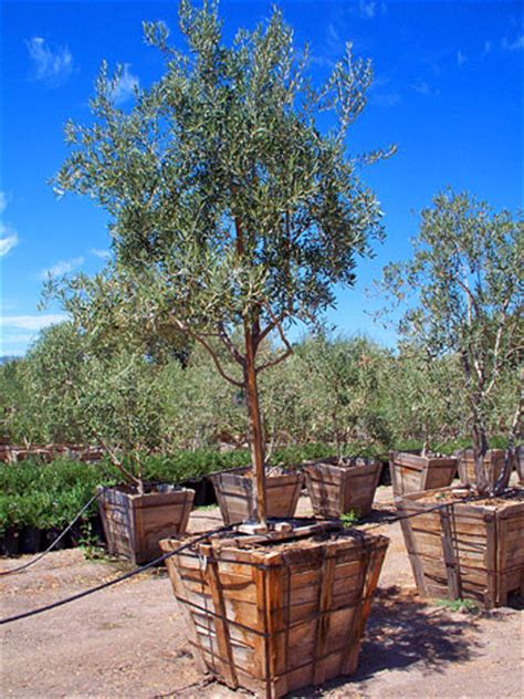 buy olive tree marin county olive farm contact olive tree farm nursery california