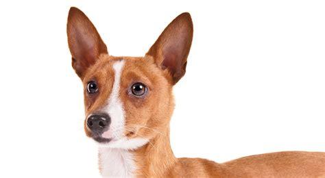 portuguese podengo puppies portuguese podengo pequeno breed information american kennel club