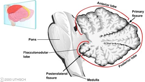 midsagittal section cerebellum section 3 chapter 5 neuroscience online an