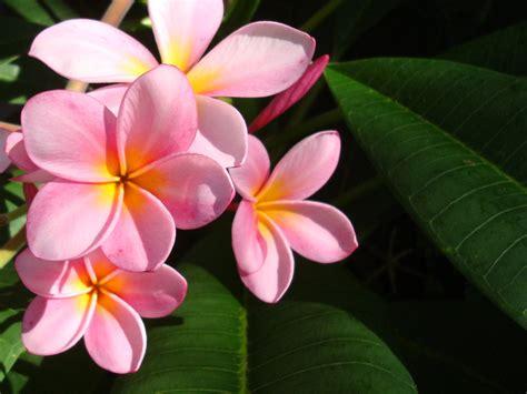 fotos muy bonitas de flores wallpapernarium flores rosadas muy bonitas