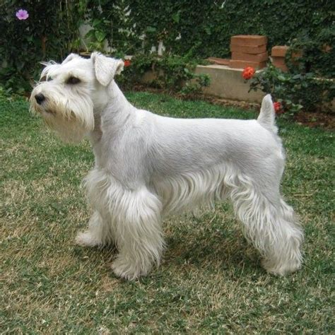 pictures of schnauzers with skirt haircut schnauzer skirt cut 131 best images about miniature