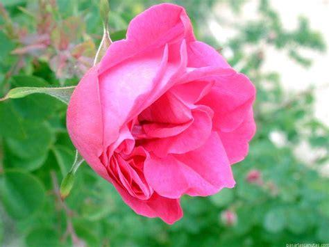 imagenes de flores rosas fotos de rosas 2 pag 9 fotos flores