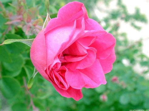 imagenes de flores rositas fotos de rosas 2 pag 9 fotos flores