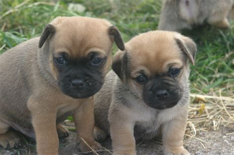 puppy pug for sale stunning jug jackrussel x pug puppies for sale tarporley cheshire pets4homes