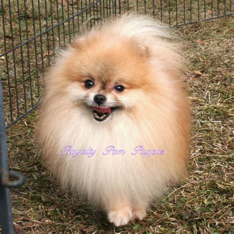 lanas pomeranians kaukauna wi pictures posters news and on your pursuit hobbies interests