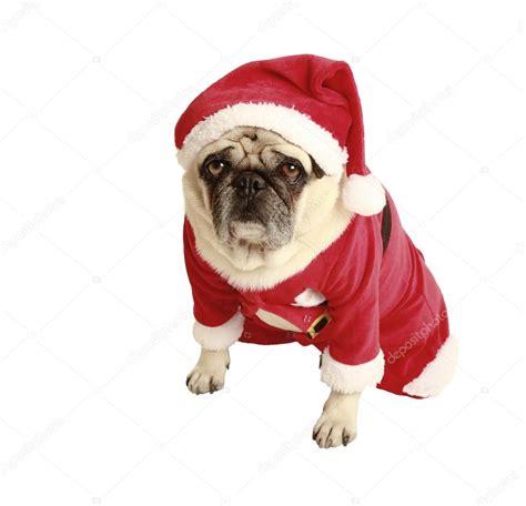 pug stock pug costume stock photo 169 purple queue 30895813