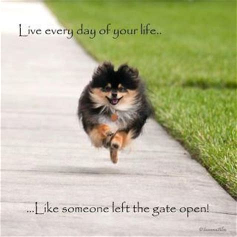 pomeranian how do they live haha reminds me of my pomeranian they do run like someone left the gate open