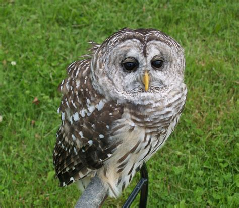 facts about the barred owl f f info 2017