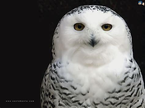 black and white owl wallpaper white owl wallpaper nature wallpaper