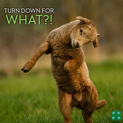 all about that baby sheep stuff lyrics quot turn for what quot animals expressing themselves