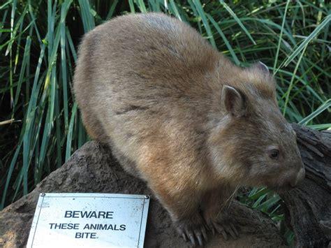 Be Gentle With Me Wombat My Blogtalkradio by Beware Wombat By Pandemoniumfire On Deviantart