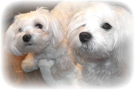 puppies for sale flint mi maltese puppies for sale adoption from flint michigan genesee adpost classifieds