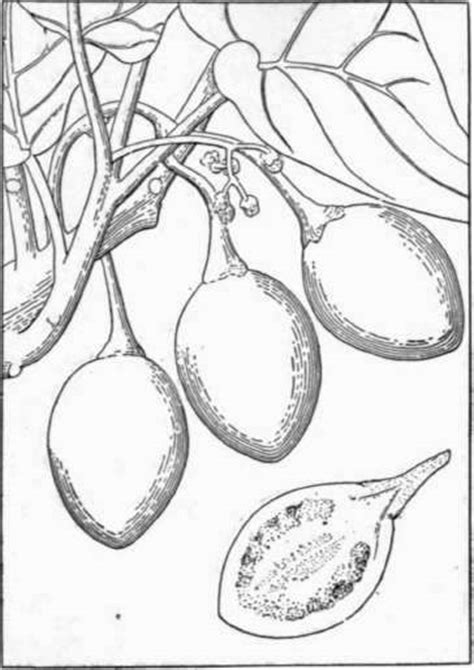 coloring page of a fig tree free coloring pages of fig tree easy