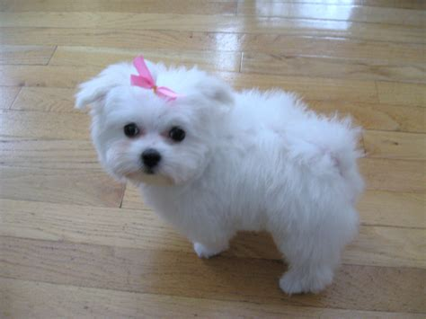 maltipoo puppies rescue maltese puppies rescue pictures information temperament characteristics
